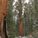 General Sherman and General Grant Are Also Names of Large Trees