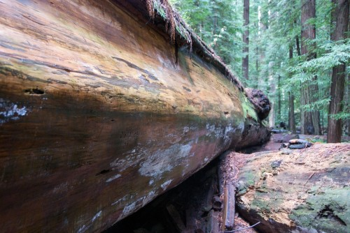 fallen redwood tree